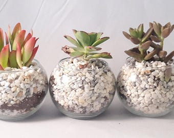 """3 Succulent Terrarium with 4"""" Round Glass / and River Rocks"""