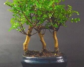 Zanthoxylum Bonsai Tree forest planting 20 25cm in Oval ceramic pot