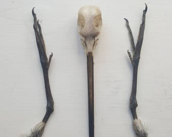Taxidermy Snipe Skull and Feet