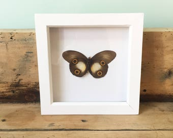 Taxidermy Butterfly Frame