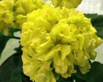 Geranium Purely Greenish Yellow Big Blooms Bonsai Flowers Seeds 10pcs Rare Garden Ornamental Fragrant Flowers