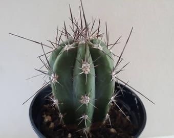 "Stetsonia  cactus plant(3.5""pot)"