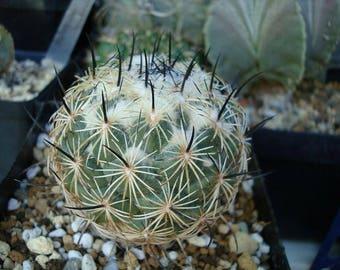 10 Coryphantha pallida Seeds,  Coryphantha reduncispina Seeds