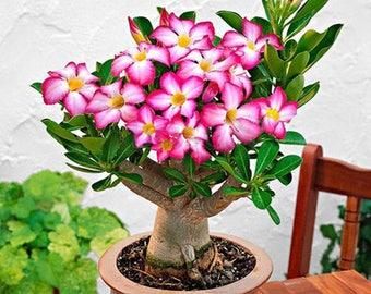 5-20 Pcs Adenium Obesum Seeds Desert Rose Perennial Flower Garden Bonsai Plant