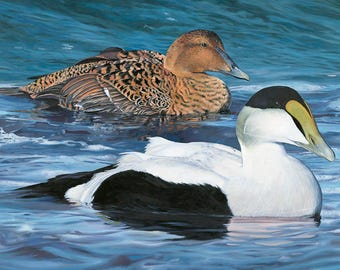 """2017 Maine Duck Stamp Print (Common Eiders) """"Surfing into Shore"""""""