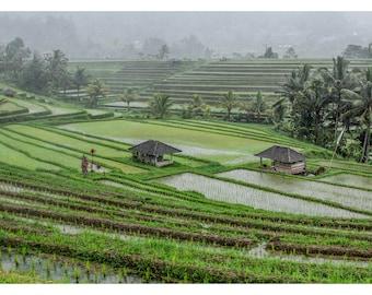 Rice Fields - Indonesia