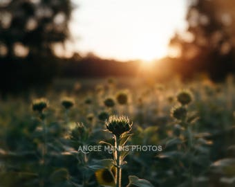 Nature Photography, Almost Bloomed Sunflower Photo, Rustic Home Decor