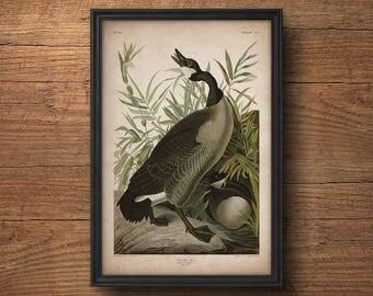 Audubon bird print, Canada Goose print, Antique bird print, Audubon print, Birds of America, John James Audubon, Wall decor, Large art