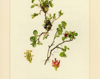 Vintage lithograph of dwarf willow, snowbed willow or least willow from 1960