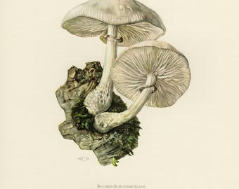 Vintage lithograph of the porcelain fungus from 1961