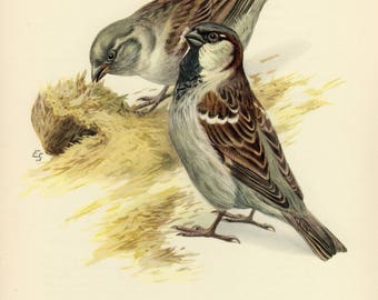Vintage lithograph of the house sparrow from 1953
