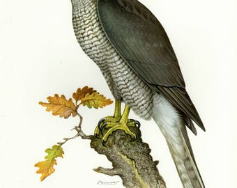 Vintage lithograph of the northern goshawk from 1956