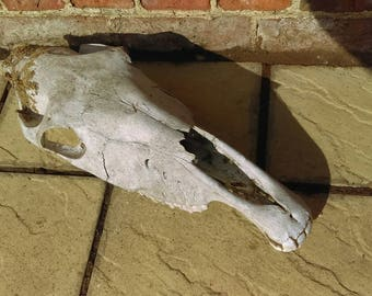 Vintage weathered horse skull, rustic country farmhouse garden
