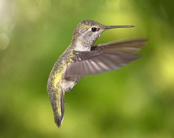 Anna's Hummingbird in Flight, Color Image