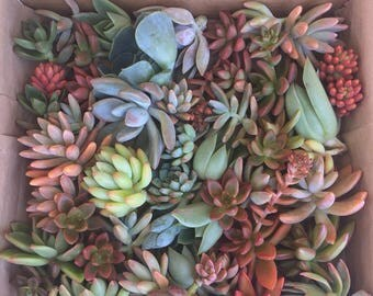 70 succulent cuttings to use in projects, or to plant in pots.