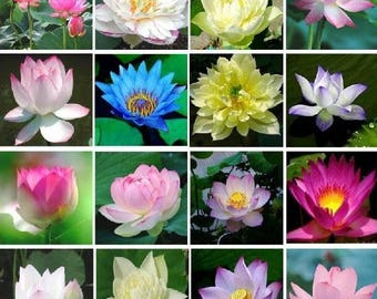 20 Mixed Color Water lily Flower Seeds hydroponic ( aquatic) plants flower seeds