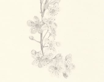 Sakura (pencil on paper)
