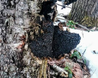 Chaga Mushroom - one pound(16 ounces) dried, ready-to-use/brew Medium sized (1-2 inch) chunks -wild harvested in Northern Michigan