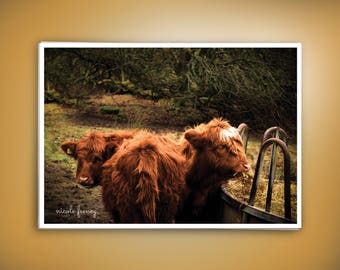Hairy Coos - Photography, Animals, Scotland, Nature, Landscape, Print, Cows