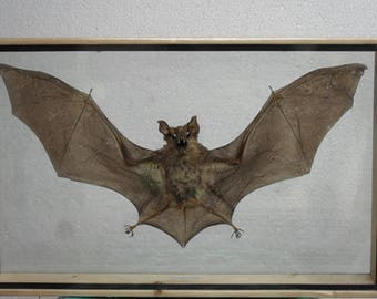 REAL HORSESHOE BAT Insect Taxidermy Double Glass Frame/ BT01