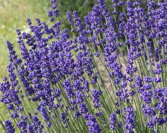 10 ml HEBBD spike lavender essential oil