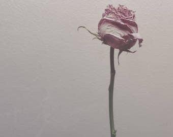 One Rose w/ Soft Light - Minimalist Fine art Photography by Jamie Holland