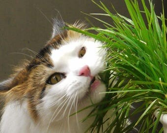 ORGANIC CAT GRASS - Rye - Great Treat for Feline Digestive System - 1 lb. Seeds