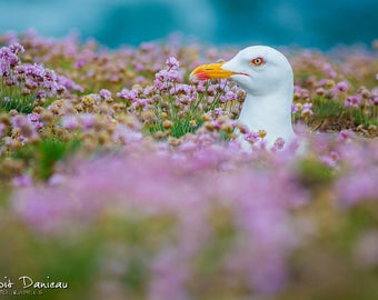 Photographs of gulls in the flowers