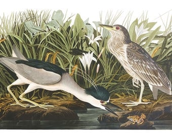Audubon's Plate 236 Night Heron Cross Stitch Pattern