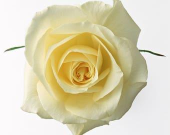 Precious White Rose Bud Cross Stitch Pattern