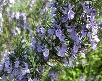 LIVE PLANT -- Rosmarinus officinalis Sissinghurst Blue - Rosemary, Plant in 9cm Pot