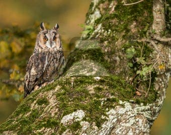 """Mounted Photographic Display Print - Long Eared Owl #1 (A4 print in 14"""" x 11"""" Mount, Unframed)"""