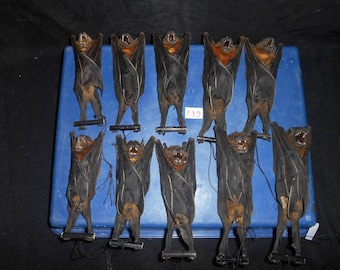 Taxidermy Fruit Bat Cynopterus Brachyotis Mummified 10 Pcs