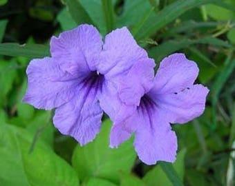 Minnieroot Waterkanon Purple flower seed, 20 Fresh Minnieroot Waterkanon Ruellia Tuberosa Seeds