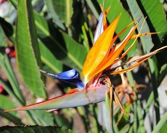 Photograph of Bird of Paradise flower taken in Yorba Linda, CA in 5x7 print