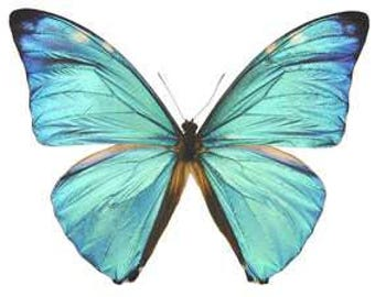 Real Morpho adonis Butterfly, spread for your project or laminated or unmounted