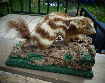 Taxidermy Vintage Skunk Brown and Creme ADORABLE Collecible Skunk Mounted on Wood with the Sweetest face ever