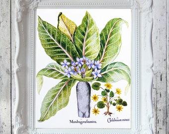 Vintage Mandrake Root Book Plate/Print/Illustration : Mandragora Foemina & Lesser Celandine 8 x 10 JPEG Digital Download