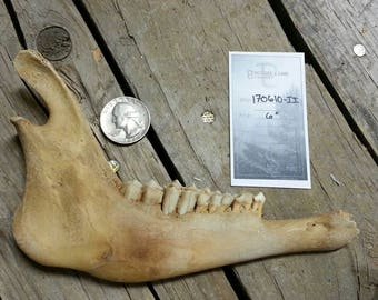 Craft Grade Lower Jaw - Unmatched sides with Teeth- Goat Sheep Lot No. 170610-II