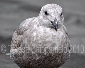 Bird Photography, Baby Seagull, 8 x 10, Fine Art Photo Print, Cute, Feed Me, Fluffy Feather, Down, Cold in the Rain, Black and White Photo
