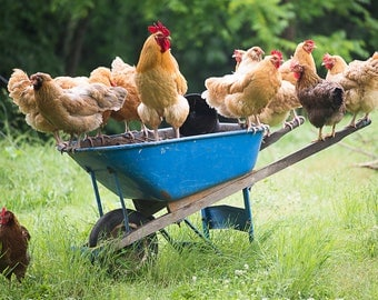 Chickens on the Wheelbarrow