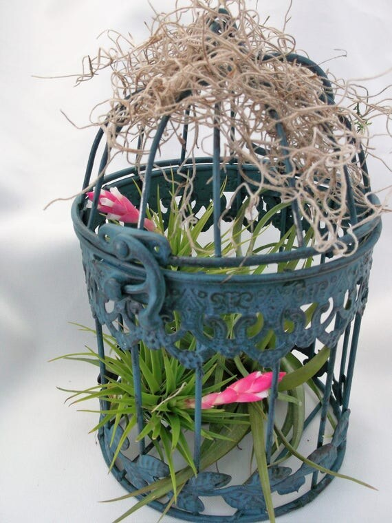 Hanging rustic blue bird cage with Tenufolia air plants is so pretty.