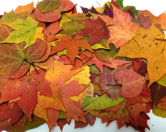 Pressed leaves, 500 real autumn leaves, dried autumn leaves, fall leaves, pressed maples, wedding, thanksgiving table leaves, A100