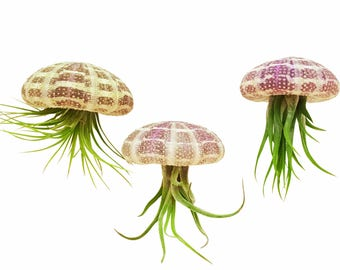 Bliss Gardens Jellyfish Trio Pack / 3 Hanging Air Plants with 3 Sea Urchins / Nautical Tillandsia Gift