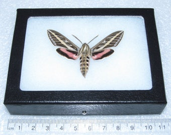 Real framed Arizona white lined sphinx moth Hyles lineata
