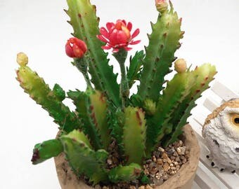 """Résultat de recherche d'images pour """"cactus de noel"""""""