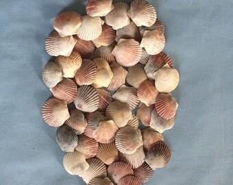 50 Scallop Shells Bulk Various Colors A306