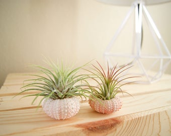 Air Plants in Sea Urchin Shells (Set of two)