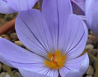 Saffron Crocus seeds,crocus of Kozani seeds,224,gardening, summer flower, white saffron, light purple saffron seeds, crocus seeds