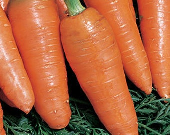 "VRCC)~""BAMBINO"" CARROT~Seeds!!!~~~~~Smaller, Sweeter Carrots!"
